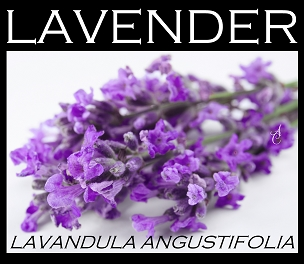 Lavender Essential Oil ~ South African Cape